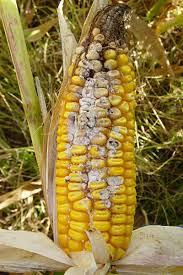 Fall Armyworm | Corn | DuPont Pioneer