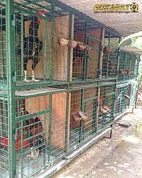 Selain itu, ayam juga tidak mudah terkena. Bandar Sabung Ayam Kandang Ayam Bangkok Yang Bagus Adalah Kandang Yang Dapat Menunjang Keberhasilan Dalam Merawat Ayam Aduan Kandang Ayam Ayam Ternak Ayam