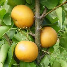 Pear Trees For Sale  Buy Pear Trees From Stark Brou0027sFull Size Fruit Trees For Sale