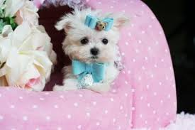 white teacup yorkie puppies for sale. Simple Puppies PUPPIES FOR SALE IN TEXAS Puppies In Texas Yorkies For Sale Maltese  Chihuahua Puppies Pomeranian Puppies French Bulldog Shih Tzu Puppies  Throughout White Teacup Yorkie Sale A