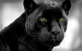 full hd animal wallpapers. Fine Full Black Panther Wallpapers  Full HD Wallpaper Search And Hd Animal O