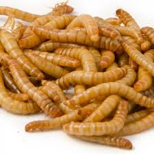 Mealworm Size Chart Live Mealworms Bird Food