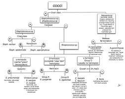 Bacteria Identification Flow Chart