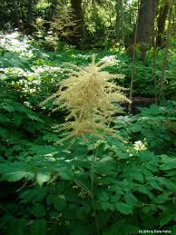 Aruncus dioicus - Michigan Flora