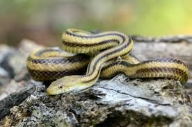 Louisiana Snakes Chart 12 Black Snakes With Yellow Stripes In North America With