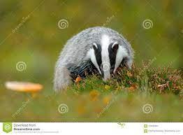 Das, Meles Meles, Dier In Hout Europese Das, Groen Bos Wild Het  Zoogdiermilieu Van De De Herfstpijnboom, Regenachtige Dag Das In Stock  Afbeelding - Afbeelding bestaande uit dier, wijfje: 104332907