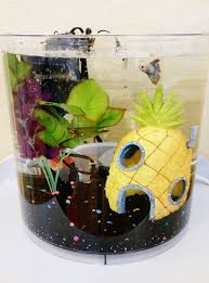 acclimating a new betta fish in an fish tank with a heater filter thermometer