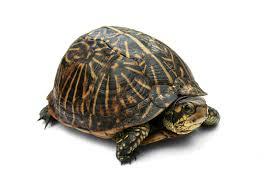 feeding american box turtles