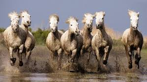 galloping white horses hd wallpapers