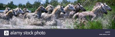 wild horses running through water. Simple Through Camargue Horses Running Through Water France  Stock Image In Wild Horses Running Through Water S