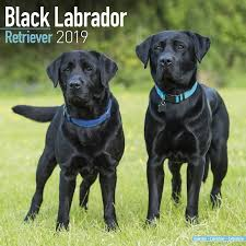 black labrador retriever. Plain Retriever Categories Inside Black Labrador Retriever Y
