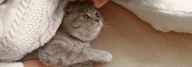 british shorthair cat breed facts and