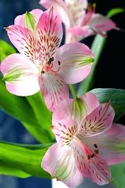flowers that look like lilies also known as lily is a perennial whose resemble azaleas13