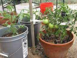 container gardening tomatoes. Interesting Container The Complete Guide To Growing Tomatoes In Containers And Container Gardening O