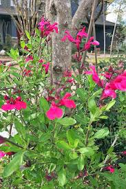 dark pink s gregii blooms on plants with thin stems and greenish yellow leaves