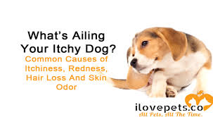 why your dog is red itchy smelly and balding mon dog skin issues
