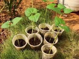 Organic Kitchen Gardening Kidney Beans Organic Kitchen Gardening And My Personal Musings