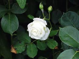 Kết quả hình ảnh cho hoa vu lan