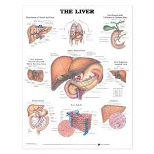 Liver Anatomy The Liver Anatomical Chart
