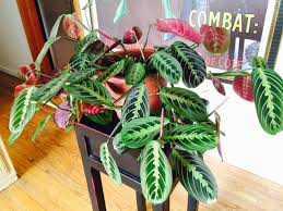 Prayer plant houseplants should be kept moist, but not soggy. Use warm  water and feed prayer plant houseplants every two weeks, from spring  through fall, ...
