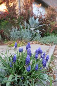 texas tough spring perennial flowering