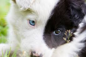 Dogs With Blue Eyes Causes Dangers Breeds