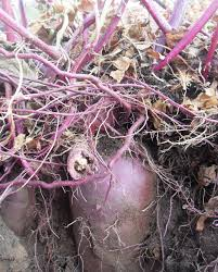purple sweet potato plant. Simple Purple I Just Love The Crosssection Of This Picture Intended Purple Sweet Potato Plant Y