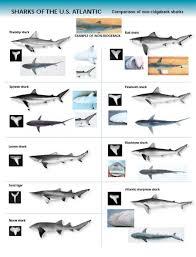 Shark Indenifaion Shark Identification Chart U S