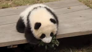 baby panda gif. Modren Panda Panda Gif2 For Baby Gif D