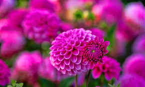 hd photos flowers.  Photos Dahlia Flower HD Wallpapers And Hd Photos Flowers