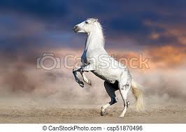 white horse rearing. Simple Horse White Horse Rearing Up  Csp51870496 Intended Horse Rearing A
