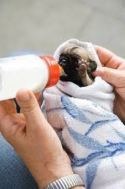 newborn baby pugs for sale. Contemporary Sale Want Fantastic Tips Concerning Becoming A Salesman Throughout Newborn Baby Pugs For Sale U