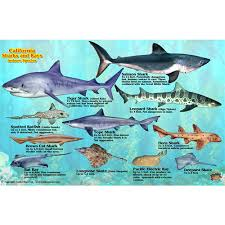 franko maps california shark and rays fish id card frankos maps picture 1 regular