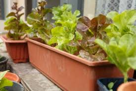 indoor container vegetable gardening winter