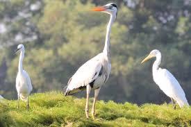 Image result for stork birds