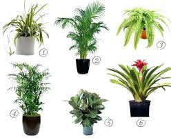 cat safe indoor plants house for cleaner air spider plant palm fern bamboo rubber best houseplants cat safe indoor plants