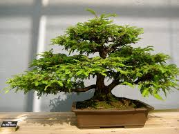 office bonsai tree. Fine Office Sequoia Bonsai Tree  By Simpleton718 With Office