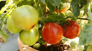 Fresh Tomatoes Vegetable Garden Ideas 11805Container Garden Plans Tomatoes