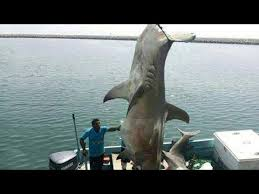 great hammerhead shark caught.  Hammerhead Inside Great Hammerhead Shark Caught S