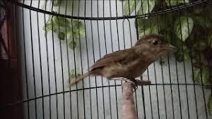 Bulu burung merak jantan lebih indah dibandingkan dengan burung merak betina. Kicau Tledekan Jati Mp3 Storymusik