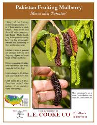 Buy Mulberry Trees From Stark Brou0027s  Mulberry Trees For SaleTeas Weeping Fruiting Mulberry Tree
