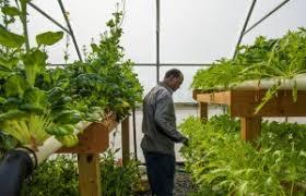 aquaponic gardening. what is aquaponic gardening
