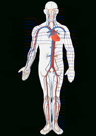 circulatory system interacts other systems circulatory system   circulatory system interacts other systems circulatory system