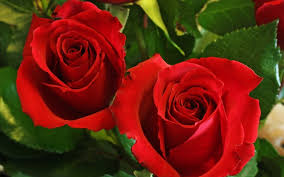 flowers love roses nature wallpapers for android mobile free flowers for hd 16