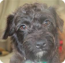 black wire haired terrier mix. Modren Haired Adopted To Black Wire Haired Terrier Mix