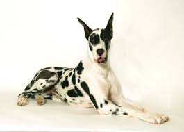 email great dane info