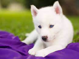 baby husky wallpaper. Exellent Wallpaper Siberian Husky Dog Puppy White Blue Eyes Baby Wallpaper With Baby Husky Wallpaper P