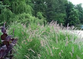 Dig deeper into fountain grass, Pennisetum