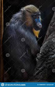 Madril Hair Design A Beautiful Madril Baboon With Bright Yellow Hair And Blue