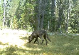 emaciated wolf. Contemporary Emaciated A Trail Camera Snapped This Photograph Of A Gray Wolf In Northern  California August 2015 Courtesy Department Fish And Wildlife In Emaciated Wolf T